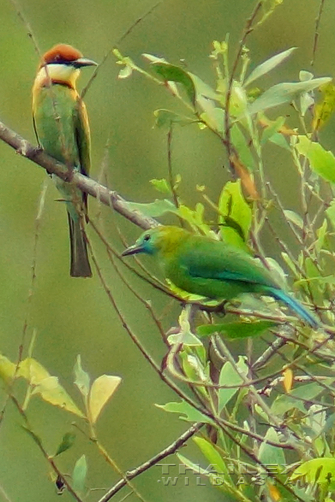 Chestnut-headed Bee-eater and Blue-winged leafbird (female)